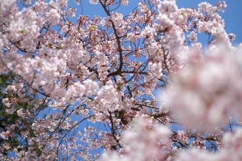 日本盛铝瓶装生原酒与你相约一起赏樱
